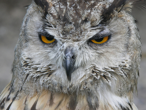 245469132_63d6c25d85_owl-angry