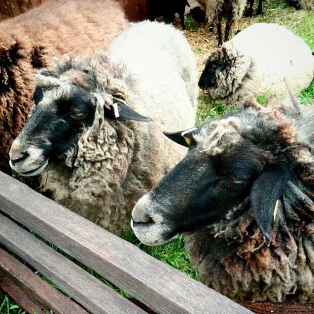 Gut Karlshöhe - Schaf vor der Schur
