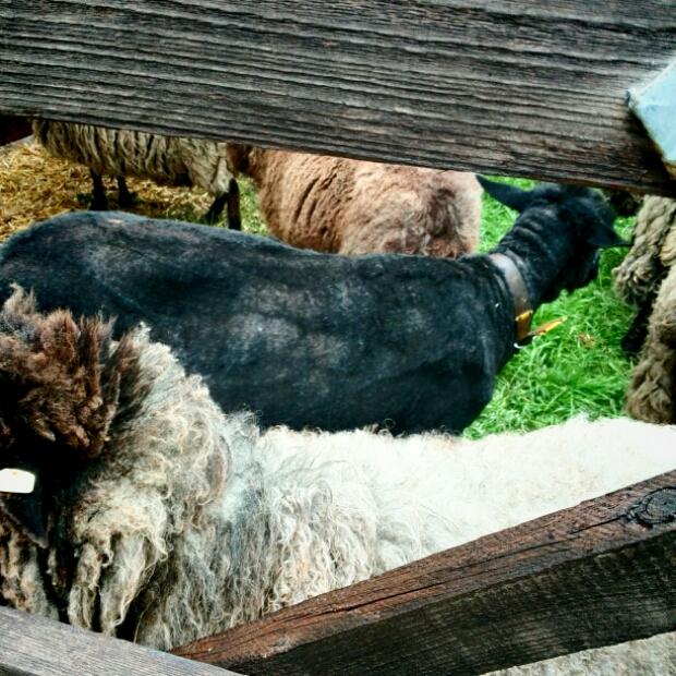 Gut Karlshöhe - Schaf nach der Schur
